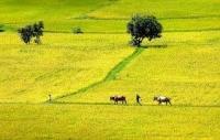 Thấp thoáng tuổi thơ tôi trên cánh đồng